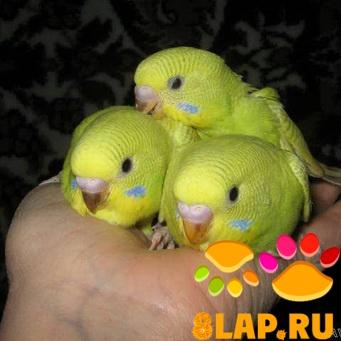 волнистый попугай месяцев.