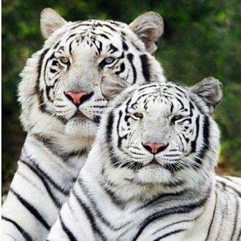 """Оригинал схемы вышивки  """"Тигры """" ."""