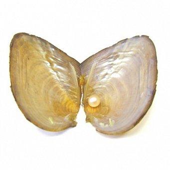 моллюск жемчужница фото