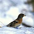 Семейство вьюрковых птиц: особенности птиц