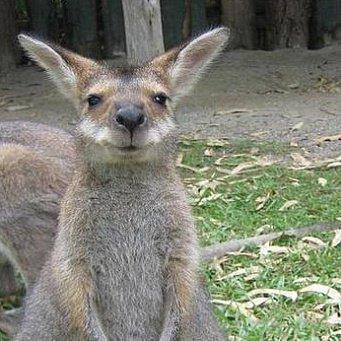 кенгуру животное