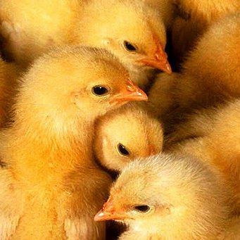 Бройлерные цыплята и уход за ними