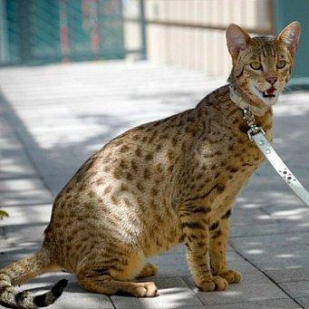 Цена кота как леопард