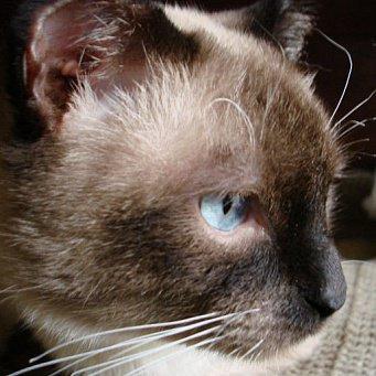 Стригущий лишай на ухе кошки Страж Чистоты