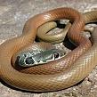 Змея полоз: образ жизни змей