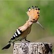Птица с интересным клювом - удод